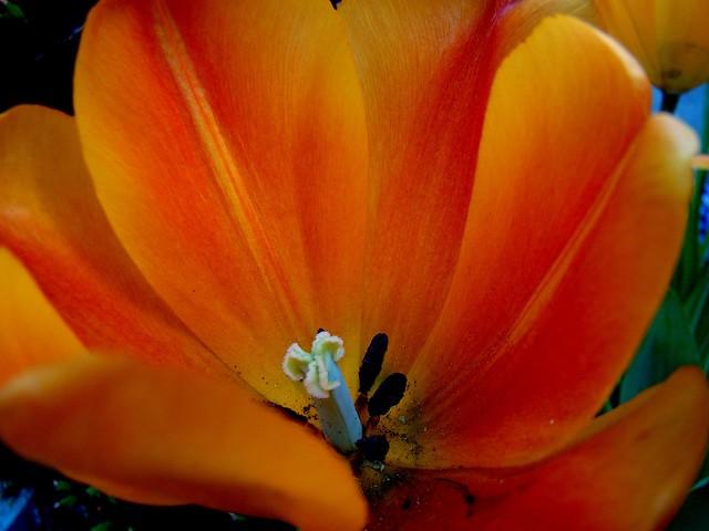 Tulipan naranja de Nueva York