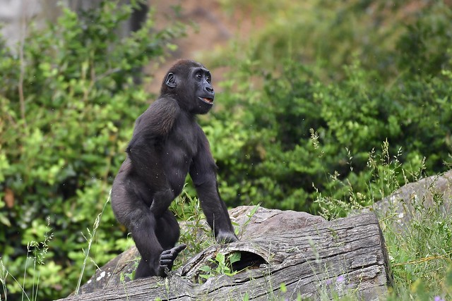 Gorilla youngster