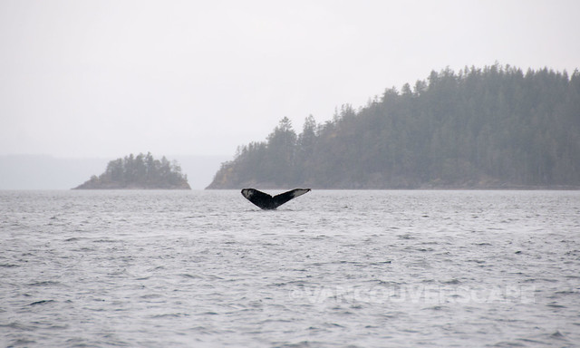 Campbell River Whale Watching-11