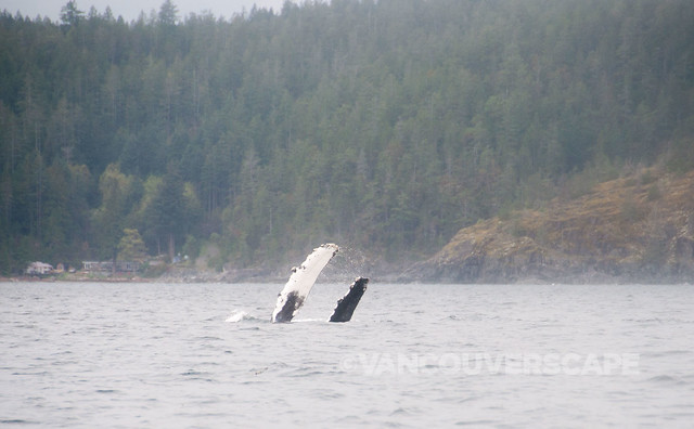 Campbell River Whale Watching-12
