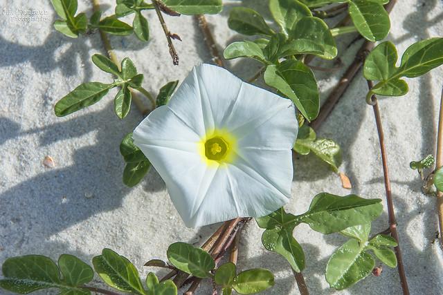 White Beach Morning Glory - Orange Beach, Alabama
