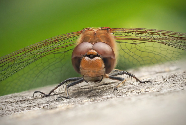 Dragonfly - Common Darter 1