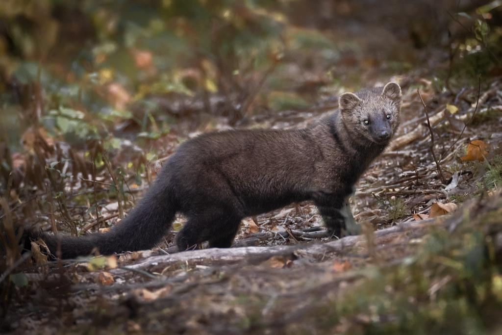 Fisher | Pekania pennanti | Pékan in Prince Edward County's Prince Edward Point National Wildlife Area