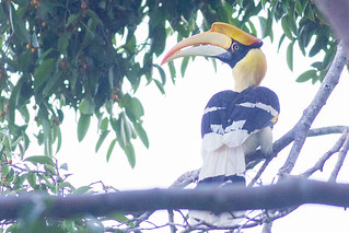 Great Hornbill | by steve happ