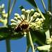 Goldene Schwebfliege (Callicera spinolae) besonders selten