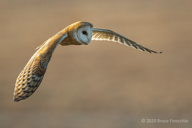The Long Wings Of A Barn Owl In Flight