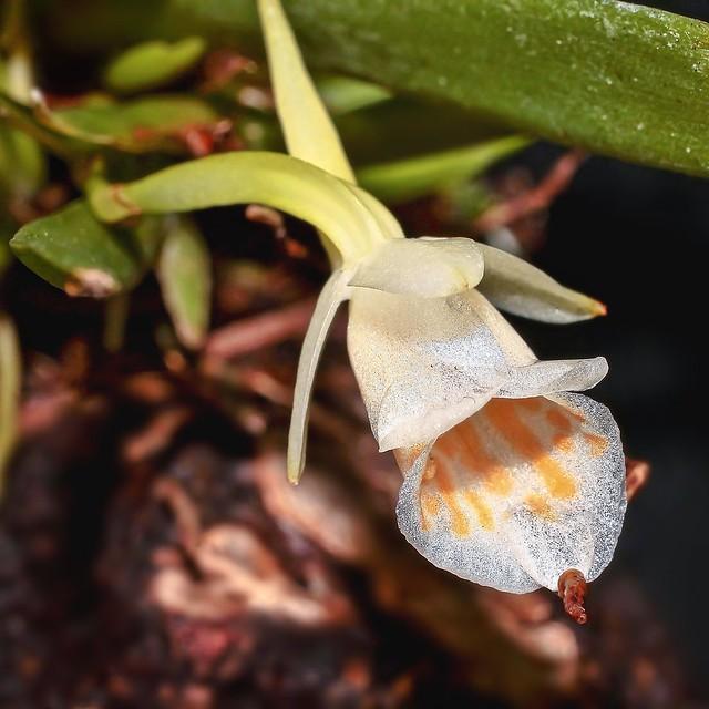 Plectrophora cultrifolia; Orchidaceae (1a)