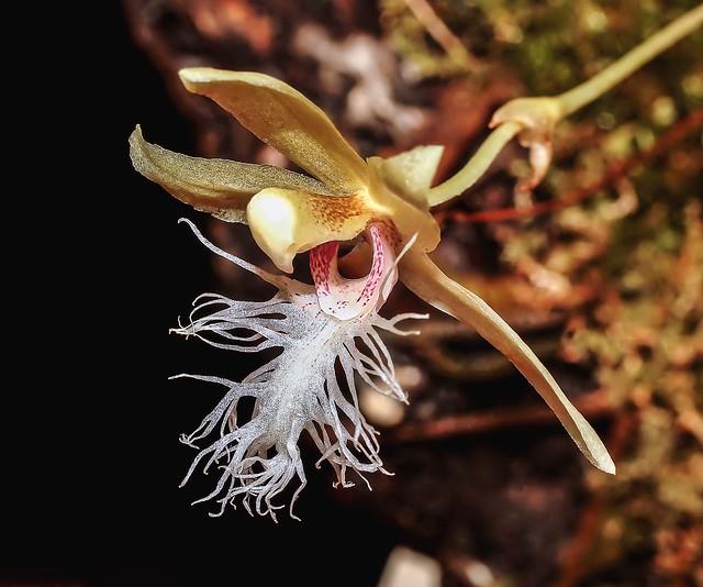 Kefersteinia mystacina; Orchidaceae (1)