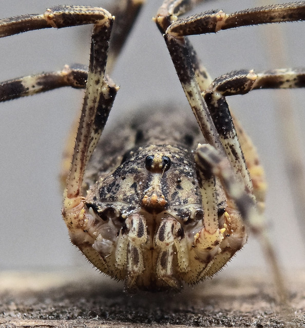 The 7 legged harvestman