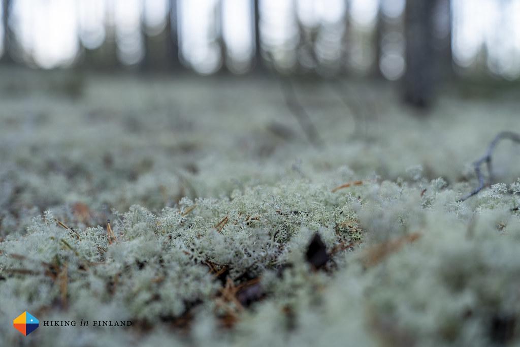Reindeer Moss 03