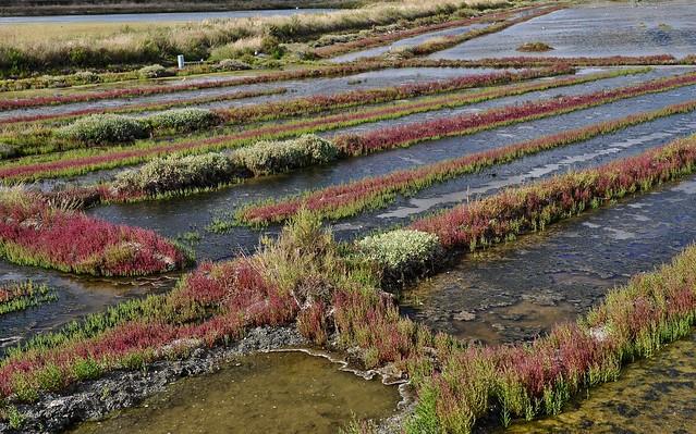 salicornes sur marais abandonné , terre de sel-4
