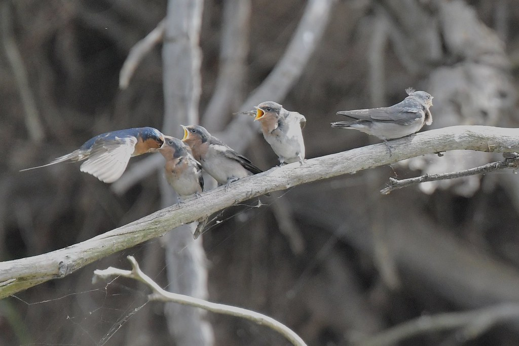 Welcome Swallow family