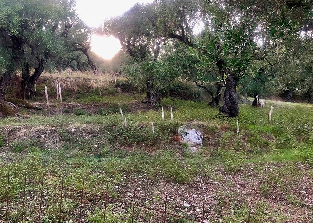 Sea Squill under the Olive Trees