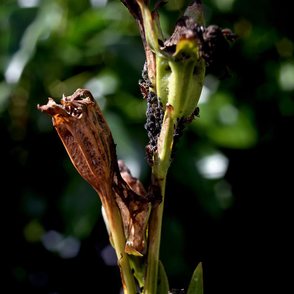 (Ants milk aphids)