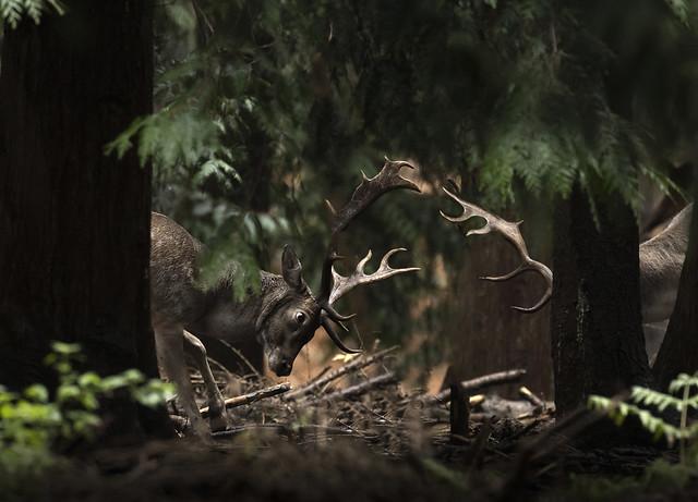 Fallow-deer-rut_4559