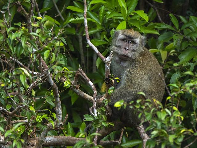 Crab-eating macaque - Macaca fasciculari