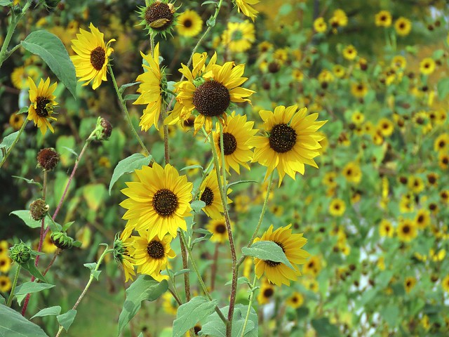 Always look at the brighter side of life, just like the sunflower which looks upon the sun, not the dark clouds.   H. Peter