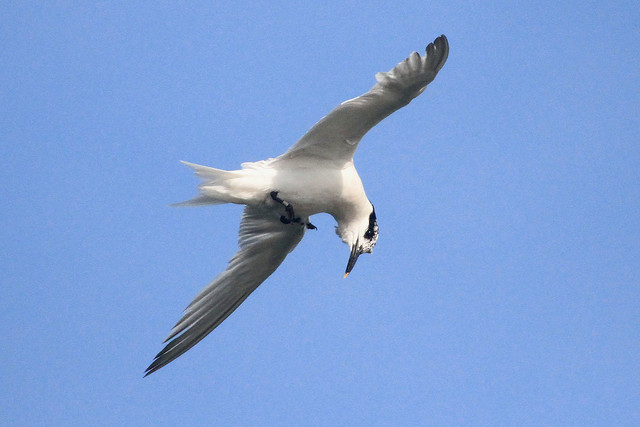 Sandwich Tern has spotted a fish