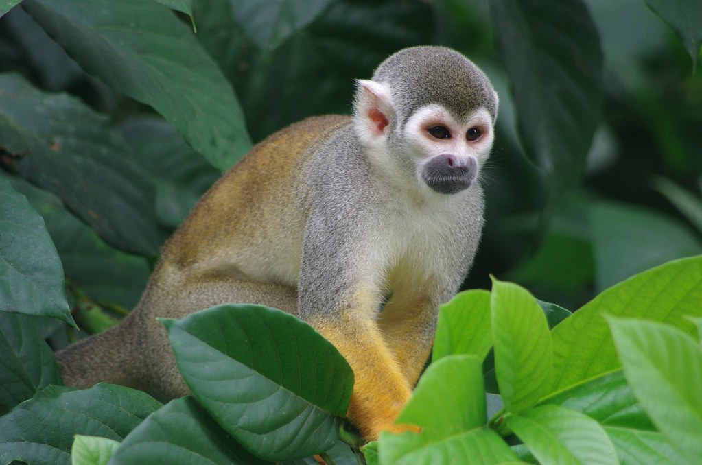 Capuchino monkey of the Amazon