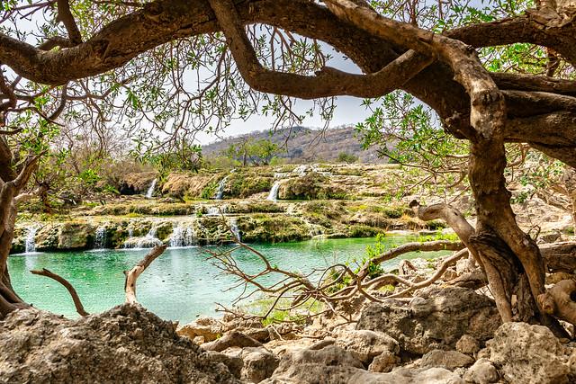 Old Tree - Oman 137