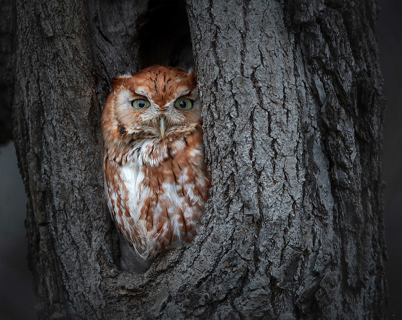 Red Morph Eastern Screech Owl by Zaphir Shamma