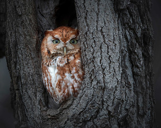 Red Morph Eastern Screech Owl by Zaphir Shamma | by Maryland DNR