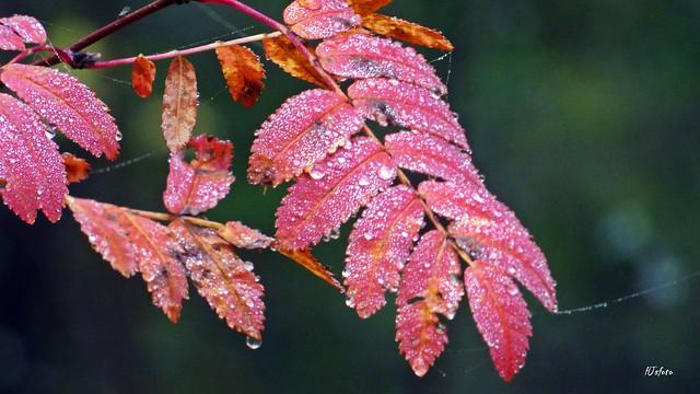 Våta rönnlöv / Wet rowan-leaves