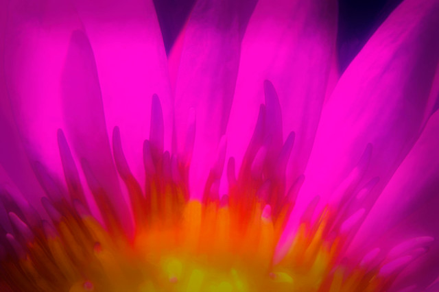 Extreme close up of Pink water lily at Naples Botanical Garden, Naples, Florida