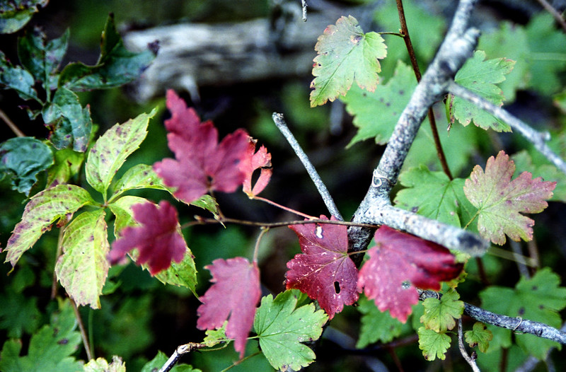 Red Leaves on the Branch_