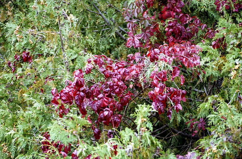 Burgundy Leaves in a Sea of Green