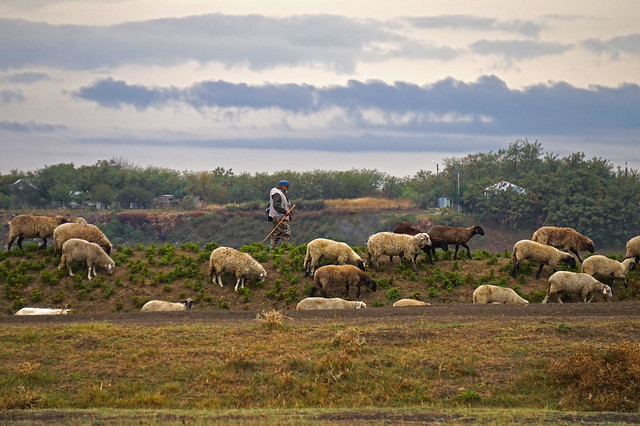 Ciobănaș și turma lui de oi