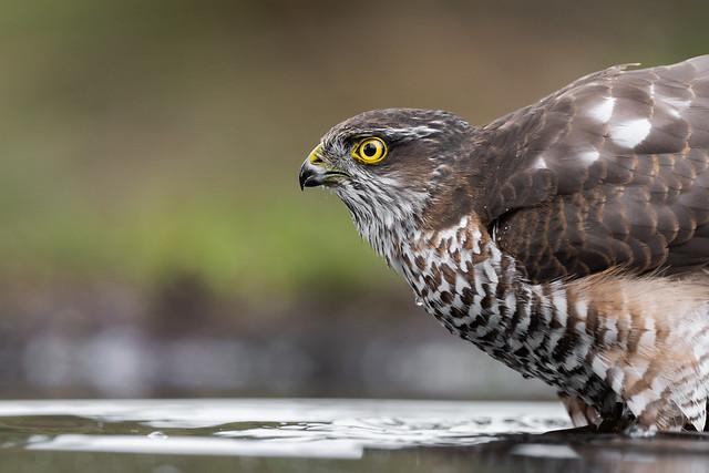 Sperber / Eurasian sparrowhawk / Accipiter nisus