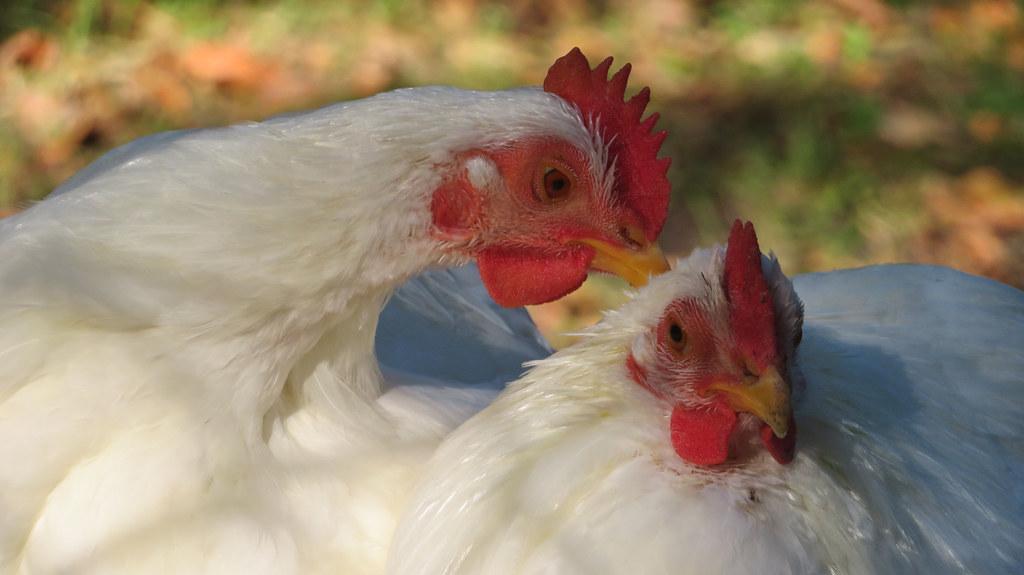 White chickens  (Explore 29-09-2020 # 260)
