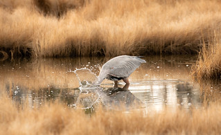 Blue Heron's Buffet by Joey Melvin | by Maryland DNR