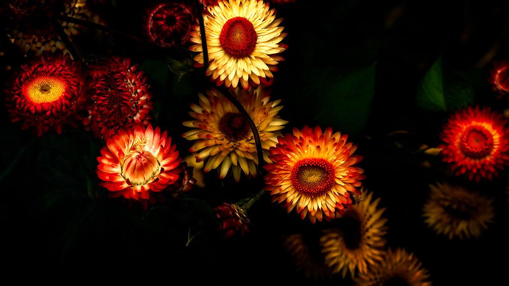 Helichrysum bracteatum (Everlasting Flower)