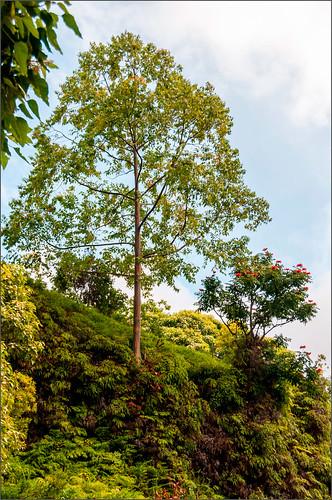 Image of the original tree in Hawaii