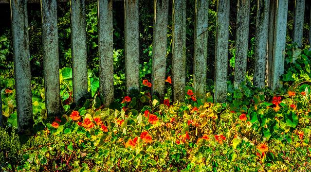nasturtium at the fence