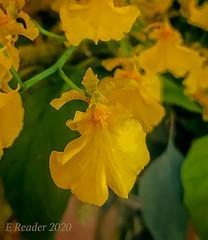 Kandyan Dancer Orchid (Oncidium sphacelatum)