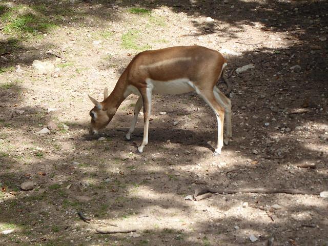 Nilgau Antilope