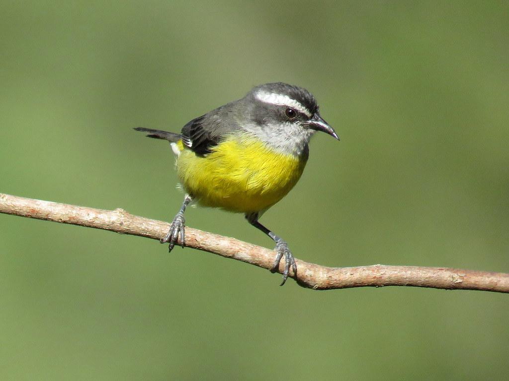 Este pequeño e inquieto mielero común o silga, derrocha ingenio para esconderse entre las ramas y burlar los ataques de los territoriales colibríes con quienes se disputa el néctar de la flores.
