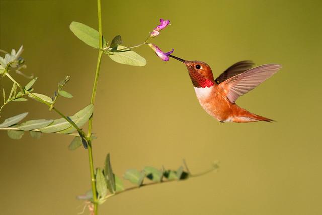 Rufous Hummingbird - Montana