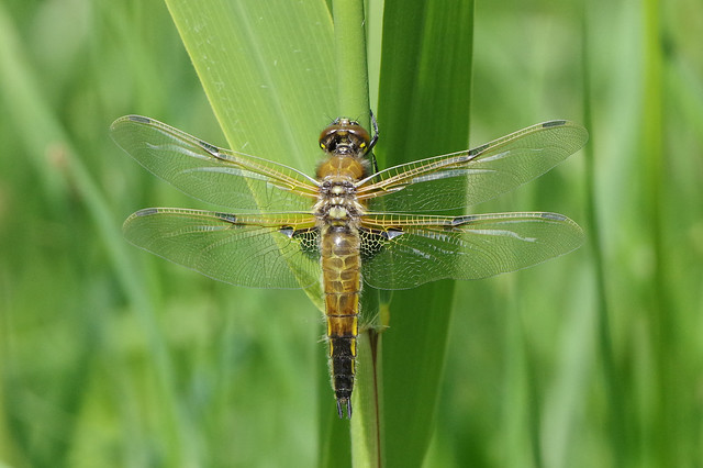 IMGP9487c Four-spotted Chaser (teneral), Woodwalton Fen, May 2020