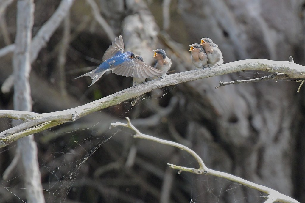 Welcome Swallow family ( one at a time )
