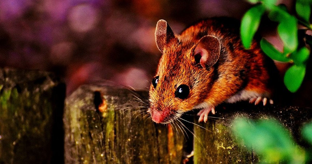 rodents (1)