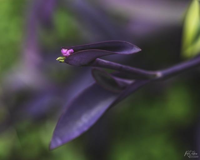 Setcreasea pallida - Purple Heart
