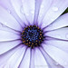 Osteospermum with Water Drops, 2.7.20