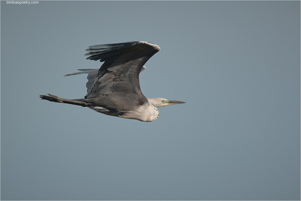 White-necked Heron: Sail'n Along
