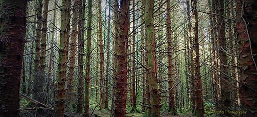 papperthill westdunbartonshire scotland woods woodland forest trees dark atmosphere colour green brown mood outdoor wild nature art artwork