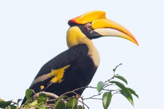 Great Hornbill    - female