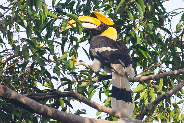 Great Hornbill    - male